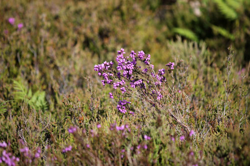 Hankley heather